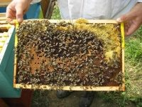 apis_mellifera_carnica_brood 2