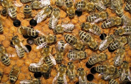Apis_m_carnica_authentic_apis_mellifera_carnica_Morphological-characteristics-carniolan-bee