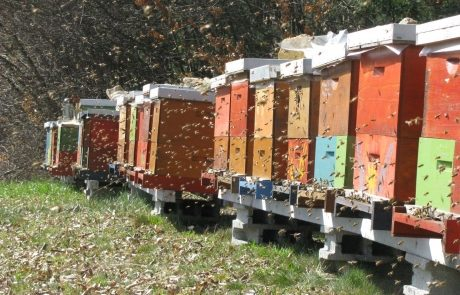 Apis_m_carnica_hives_spring-authentic-apis-mellifera-carnica