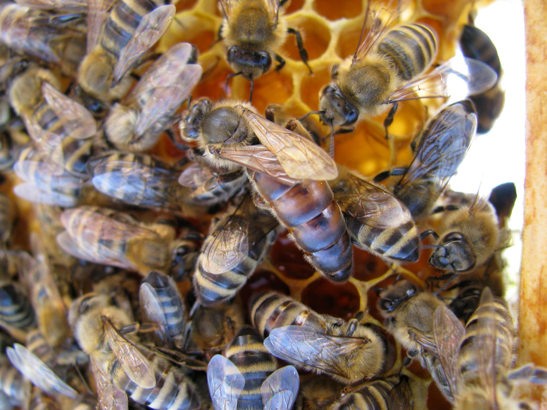 Apis_m_carnica_queen_bee_medokost-Authentic-Apis-mellifera-carnica